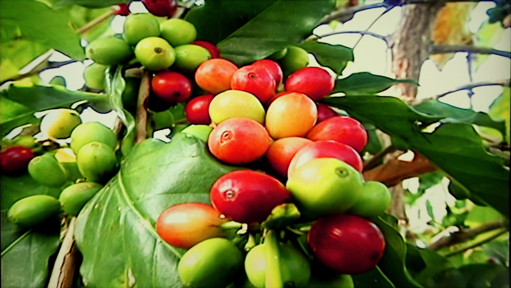 Kona Pest Control Affecting Kona Coffee