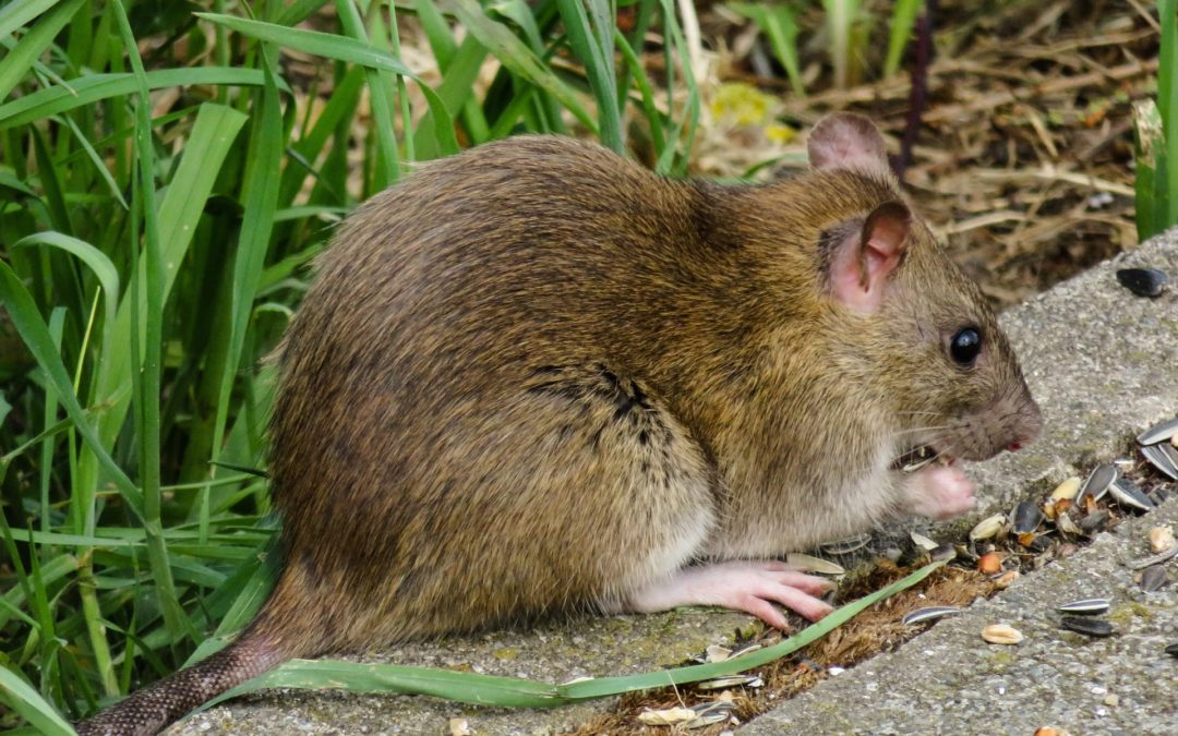 Rat Lung Disease In Hawaii